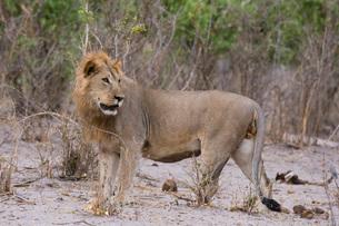 Portrait of a male lion (Panthera leo), Savuti, Chobe National Park, Botswana, Africaの写真素材 [FYI03784363]