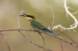 A little bee-eater (Merops pusillus) holding a cicada in its beack, Savuti, Chobe National Park, Botの写真素材 [FYI03784364]