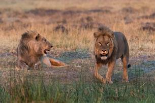 Two lions (Panthera leo) at sunset, Botswana, Africaの写真素材 [FYI03784376]