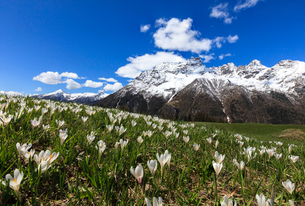 Green meadows covered with blooming crocus framed by snowy peaks in spring, Barchi, Malenco Valley,の写真素材 [FYI03784446]