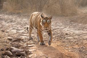 Bengal tiger (Panthera tigris tigris), Ranthambhore, Rajasthan, India, Asiaの写真素材 [FYI03784489]