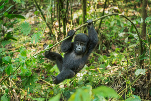 Mountain Gorilla (Beringei beringei), Bwindi Impenetrable Forest, UNESCO World Heritage Site, Ugandaの写真素材 [FYI03784501]