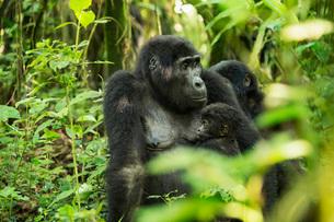 Mountain Gorilla (Beringei beringei), Bwindi Impenetrable Forest, UNESCO World Heritage Site, Ugandaの写真素材 [FYI03784502]