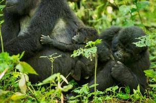 Mountain Gorilla (Beringei beringei), Bwindi Impenetrable Forest, UNESCO World Heritage Site, Ugandaの写真素材 [FYI03784503]