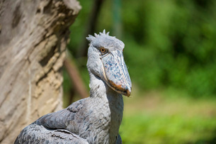 Shoebill (Balaeniceps rex), Uganda, Africaの写真素材 [FYI03784510]