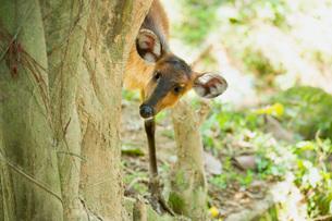 Common Duiker (Sylvicapra grimmia), Uganda, Africaの写真素材 [FYI03784513]