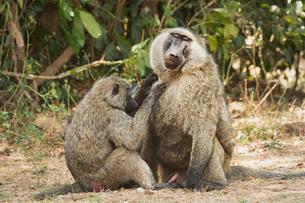 Olive Baboon (Anubis baboon), Uganda, Africaの写真素材 [FYI03784526]