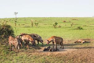 Spotted Hyena (Crocuta crocuta), Ishasha, Uganda, Africaの写真素材 [FYI03784533]