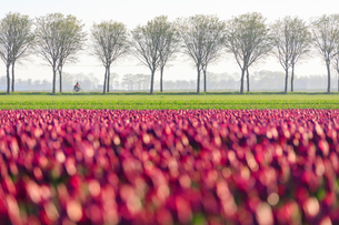 Colourful fields of tulips in bloom and bicycle in the countryside at dawn, De Rijp, Alkmaar, Northの写真素材 [FYI03784537]