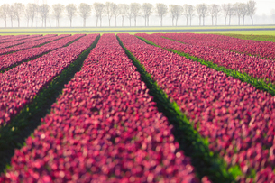 The colourful fields of tulips in bloom and trees in the countryside at dawn, De Rijp, Alkmaar, Nortの写真素材 [FYI03784539]