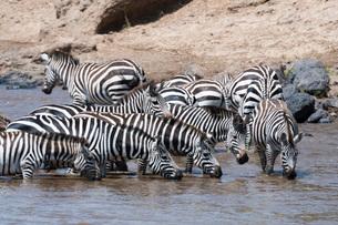 Grant's zebras (Equus burchellii boehmi) crossing the Mara River, Masai Mara, Kenya, East Africa, Afの写真素材 [FYI03784641]