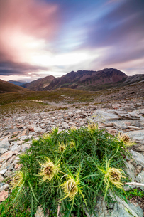 Thistle flowers and rocky peaks framed by pink clouds at sunrise, Braulio Valley, Stelvio Pass, Valtの写真素材 [FYI03784682]