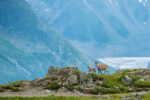 Two Ibexes on a rock in front of Mont Blanc, Chamonix, Haute Savoie, France, Europeの写真素材 [FYI03784689]