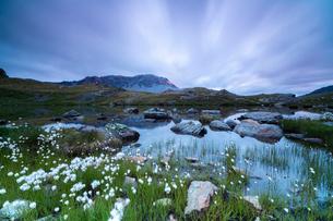 Laghetto Alto Scorluzzo framed by cotton grass at sunrise, Bormio, Braulio Valley, Valtellina, Lombaの写真素材 [FYI03784698]