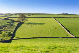 Sweeping landscape featuring dry stone wall in spring, Peak District National Park, near Litton, Derの写真素材 [FYI03784737]
