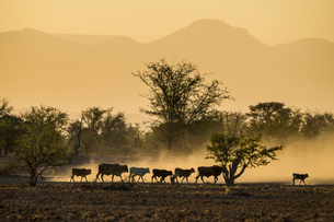 Backlight of cattle on way home at sunset, Twyfelfontein, Damaraland, Namibia, Africaの写真素材 [FYI03784753]