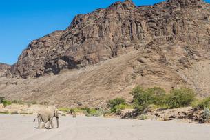 Desert elephant (African bush elephant) (Loxodonta africana), Khurab Reserve, northern Namibia, Afriの写真素材 [FYI03784783]