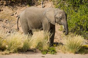 Desert elephant (African bush elephant) (Loxodonta africana), Khurab Reserve, northern Namibia, Afriの写真素材 [FYI03784784]