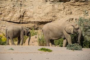 Desert elephant (African bush elephants) (Loxodonta africana), Khurab Reserve, northern Namibia, Afrの写真素材 [FYI03784785]