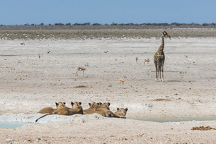 Lions (Panthera leo) at a waterhole in the Etosha National Park, Namibia, Africaの写真素材 [FYI03784789]