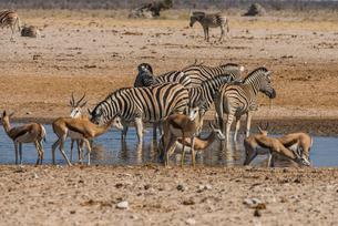 Animals flocking around a waterhole, Etosha National Park, Namibia, Africaの写真素材 [FYI03784791]