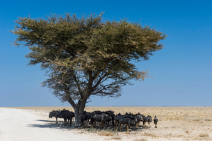 Wildebeests under an acacia tree in the Etosha National Park, Namibia, Africaの写真素材 [FYI03784792]