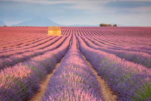 House in a lavender field at sunset, Plateau de Valensole, Alpes-de-Haute-Provence, Provence-Alpes-Cの写真素材 [FYI03784848]
