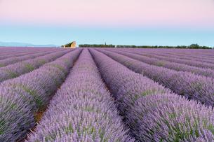 Ruins in a lavender field at dawn, Plateau de Valensole, Alpes-de-Haute-Provence, Provence-Alpes-Cotの写真素材 [FYI03784849]
