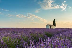 Rural house with tree in a lavender crop, Plateau de Valensole, Alpes-de-Haute-Provence, Provence-Alの写真素材 [FYI03784850]