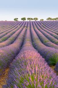 Lavender rows, Plateau de Valensole, Alpes-de-Haute-Provence, Provence-Alpes-Cote d'Azur, France, Euの写真素材 [FYI03784853]