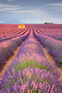 House in a lavender field at sunset, Plateau de Valensole, Alpes-de-Haute-Provence, Provence-Alpes-Cの写真素材 [FYI03784854]