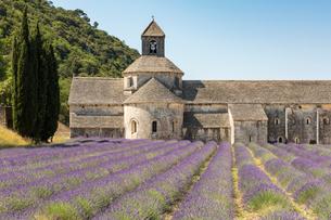 Lavender crop in front of Senanque Abbey, Gordes, Vaucluse, Provence-Alpes-Cote d'Azur, France, Euroの写真素材 [FYI03784856]