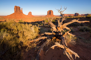 Dry tree and Monument Valley in the background, Navajo Tribal Park, Arizona, United States of Americの写真素材 [FYI03784871]