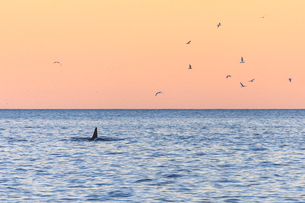 A killer whale in the cold sea framed by seagulls flying in pink sky at dawn, Tungeneset, Senja, Troの写真素材 [FYI03784900]