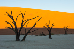 Deadvlei, an old dry lake in the Namib desert, Namibia, Africaの写真素材 [FYI03784916]