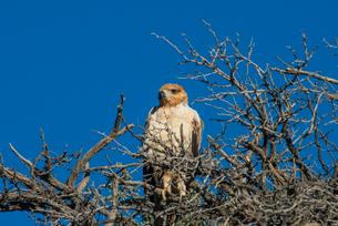 Martial eagle (Polemaetus bellicosus), Kalahari Transfrontier Park, South Africa, Africaの写真素材 [FYI03784928]