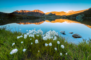 Cotton grass frames the rocky peaks reflected in Lake Umbrail at sunset, Stelvio Pass, Valtellina, Lの写真素材 [FYI03784961]