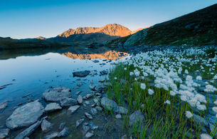Cotton grass frames the rocky peaks reflected in Lake Umbrail at sunset, Stelvio Pass, Valtellina, Lの写真素材 [FYI03784963]