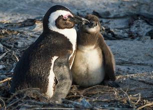 African penguins (jackass penguins) (Spheniscus demersus), Boulders Beach, Cape of Good Hope, Southの写真素材 [FYI03784964]