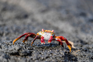 Adult Sally lightfoot crab (Grapsus grapsus) preparing to molt on Fernandina Island, Galapagos, UNESの写真素材 [FYI03785208]