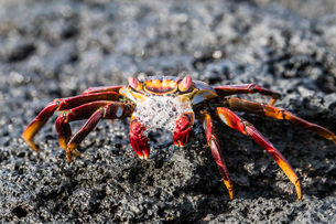 Adult Sally lightfoot crab (Grapsus grapsus), preparing to molt on Fernandina Island, Galapagos, UNEの写真素材 [FYI03785212]