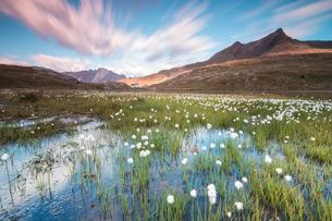 Sunrise on fields of cotton grass, Gavia Pass, Valfurva, Valtellina, Lombardy, Italy, Europeの写真素材 [FYI03785417]