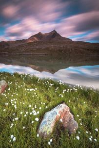 Cotton grass on the shore of Lago Bianco, Gavia Pass, Valfurva, Valtellina, Lombardy, Italy, Europeの写真素材 [FYI03785418]