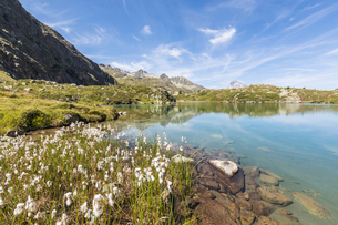 Wildflowers on the shore of the alpine lake, Crap Alv Lejets, Albula Pass, Canton of Graubunden, Swiの写真素材 [FYI03785430]