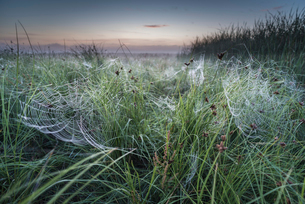 Dew covered orb web in mist at dawn, Elmley Marshes National Nature Reserve, Isle of Sheppey, Kent,の写真素材 [FYI03785469]