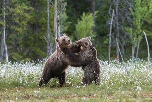 European Brown Bear (Ursus arctos arctos) sub-adults, play fighting on swamp, Suomussalmi, Finland,の写真素材 [FYI03785470]