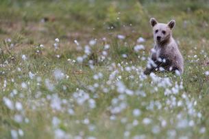 European Brown Bear (Ursus arctos arctos) cub, sitting on cotton grass filled taiga swamp, Suomussalの写真素材 [FYI03785476]