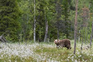 European Brown Bear (Ursus arctos arctos) adult, standing on cotton grass filled taiga swamp, Suomusの写真素材 [FYI03785477]