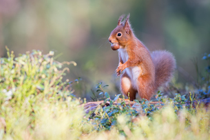 Red squirrel with nut, Cairngorms National Park, Scotland, United Kingdom, Europeの写真素材 [FYI03785485]