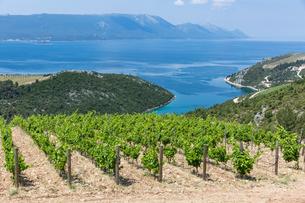 Coastal winery on the hills of the Dalmatian Coast, Croatia, Europeの写真素材 [FYI03785691]